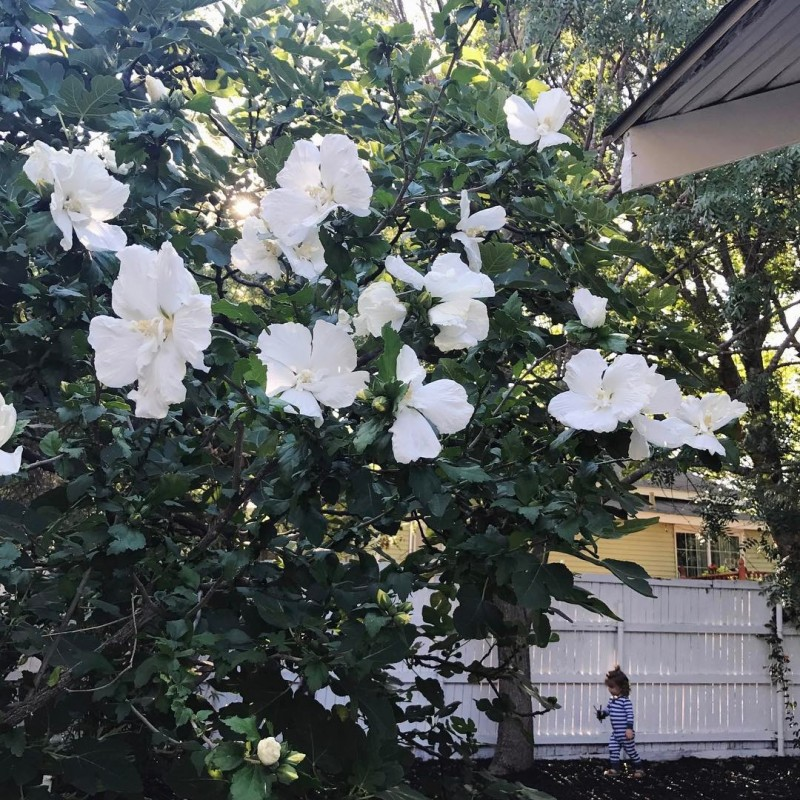 The hibiscus in our backyard has bloomed so beautifully thishellip